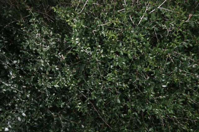 Free Ivy Texture -27-12-2015-0001