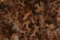 Free Leaves Texture 21_11_2010 002