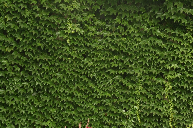 Free Texture Ivy 2010_08_07_06