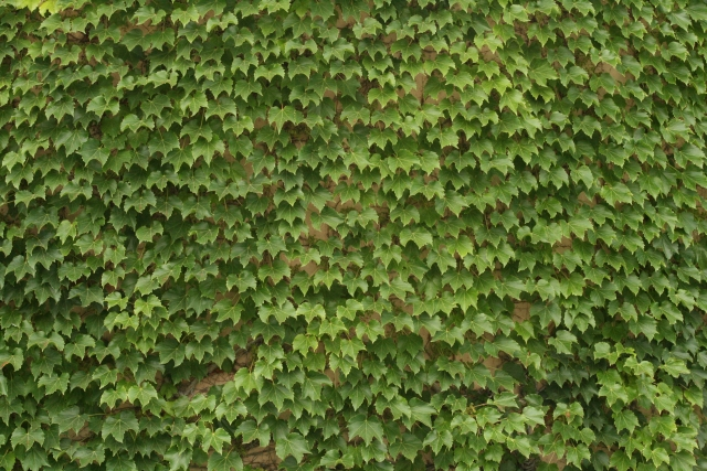 Free Texture Ivy 2010_08_07_11