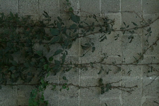 Free Texture Ivy 2010_09_12_01